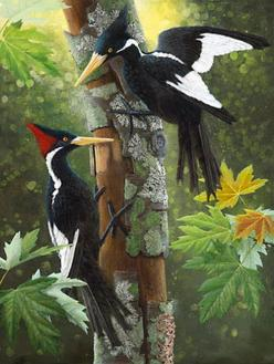 Ivory Billed Woodpecker- I have seen this bird in 2006 while attending Western Carolina University in NC. I tried reporting the sighting to the right people but they seemed to not care. This is a huge bird and it was so beautiful!: Billed Woodpecker, Isab