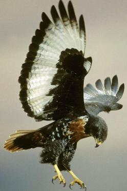 Jackal Buzzard (Buteo rufofuscus) is a 45–55 cm long African bird of prey.: Flight, Nature, Wallpapers, Beautiful Birds, Amazing Animals, Eagles Falcons Hawks