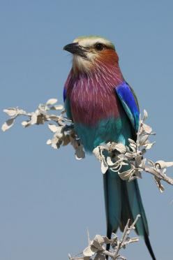 Lilac-Breasted Roller | ©Glenda Rees    A Lilac-breasted roller, Coracias caudatus, on a Trumpet thorn (Catophractes alexandrii) in Etosha, Namibia.: Colorful Birds, Rollers, Animals, Nature Birds, Photo Sharing, Beautiful Birds
