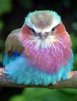 ~~Lilac-Breasted Roller~~: Rollers, Animals, Color, Beautiful Birds, Lilacs