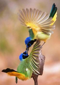 Marvelous!: Kiss, Animals, Nature, Green Jays, Beautiful Birds, Greenjays, Photo