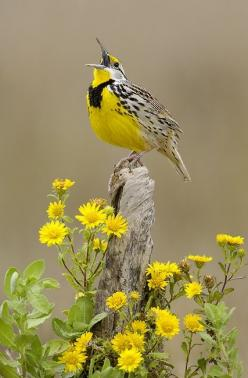 Meadowlark: Eastern Meadowlark, Animals, Nature, Meadow Lark, Beautiful Birds, Flower