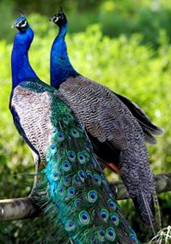 Mr & Mrs Peafowl- Male Peacock & Female Peahen: Peacock Splendor, Animals, Beautiful Birds, Things Peacock, Birds Peacocks, Peacock