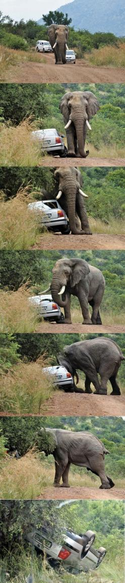Never honk at an elephant: Elephants, Single, Funny Pictures, Cars, Funnies, Funny Animal, Roads, Road Rage