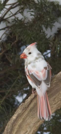 """Northern Cardinal exhibiting """"leucism"""" - a white abnormal plumage that makes birds with it hard to identify and easy targets for predators.: Albino Cardinal, Leucistic Noca, Beautiful Birds, Cardinals, Animal"""