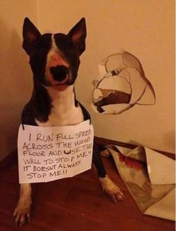Opps... #twobostons: Funny Animals, Bull Terriers, Dog Shaming, Funny Picture, Funnies, Pet Shaming