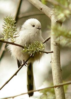 our-amazing-world:  Northern Long Tailed Amazing World beautiful amazing: Animals, Little Birds, Birdie, Beautiful Birds