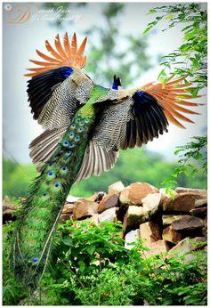 Peacock in flight - I honestly have never seen a Peacock in flight from this angle before. So beautiful! -sr: Peacocks, Animals, Google, Birds Peacock, Beautiful Birds, Beauty, Photo