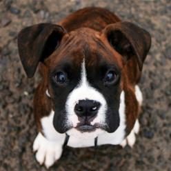 Perfect angel!! What a face!!! ♥: Boxers Dogs And Puppies, Boxers Puppies, Boxer Dogs, Boxer Puppies, Brindle Boxer Dog, Animal