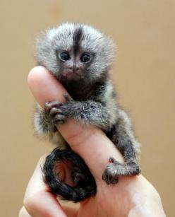 pygmy marmoset aka pocket monkey #monkey #tiny: Animals, Pet, Finger Monkeys, Fingers, Fingermonkeys, Adorable, Baby, Pygmy Marmoset