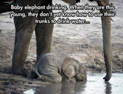 Random Pictures Of The Day - 62 Pics: Babies, Babyelephants, Animals, Baby Elephants, Trunks, Drinking Water, Drinks, Drink Water