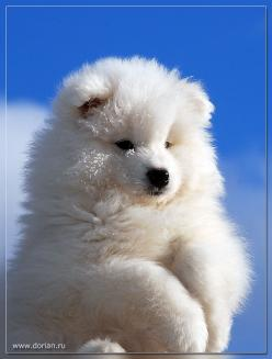 Samoyed...grew up with these fabulous gorgeous dogs my parents bred & showed them such a big part of my childhood...<3<3<3: Animals Planet, My Childhood, Gorgeous Dogs, Fabulous Gorgeous, Samoyed Grew, Samoyeds, Parents Bred
