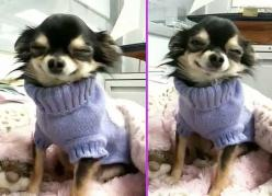 Smilin Chihuahua BeBe   ...........click here to find out more     http://googydog.com: Doggie, Sweaters, Animals, Dogs, Sweet, Chihuahuas, Adorable, Baby, Smile