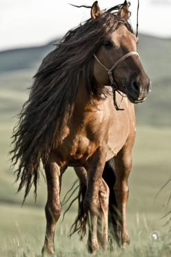 """Steppe horse--""""Most of us have never experienced horses like this: they are semi wild and live in big herds. Small and tough, most of the horses we rode were geldings whose manes and tails are cut to make rope. But a stallion's mane is never cut"""":"""