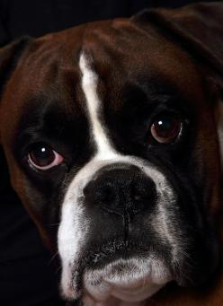Superb portrait. The Boxer Dog--Photographed by Danny Cain, Serenity Photography Limited: Boxer Dogs, Boxers Dogs, Boxerdogs, Dogs Boxers, Beautiful Boxers, Boxer Babies, Awesome Pets, Boxer Dog Photographed, Animal