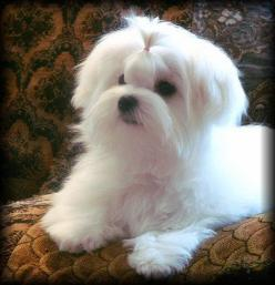 Sweet little Maltese Dog!: Maltese Puppy Cut, Maltese I, Pets Maltese, Maltese Dogs, Maltese Puppies, Animals Pets, Dogs Psy, Favorite Dogs, Dogs Pets