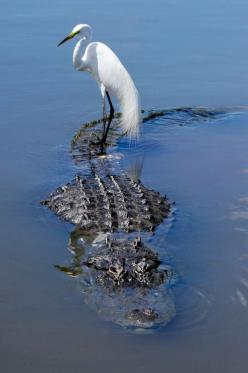 taking a free ride: Animals, Nature, Crocodile, Alligator, Creatures, Wildlife, Photo, Birds