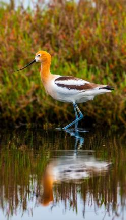 The American Avocet. At the zoo, yes. Seen naturally outside, no. Must make trip back to Florida....: Bird, Birds Birds, American Avocet, Google, Birdie, Florida Birds, Beautiful Birds, Animal
