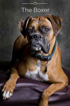 The Boxer dog originated around the 18th century and was used for fighting and bull baiting. More recently, however, the Boxer has become a popular choice as a family pet or police and military dog...but it loves to play with children! To learn more about