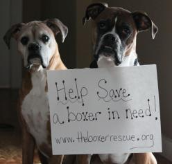 The Boxer Rescue www.theboxerrescue.org....I follow 2 rescues on Facebook...Carolina Boxer Rescue and Middle Tennessee Boxer Rescue.  My next boxer will come from one of these :): Boxers Rottweilers, Boxers My, Boxers Pets, Boxer Dogs, Boxers Rule, Boxers
