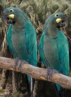 The Glaucous Macaw (Anodorhynchus glaucus) is a large all blue South American parrot, a member of a large group of Neotropical parrots known as macaws. This macaw is critically endangered and generally believed to be extinct. It is closely related to the