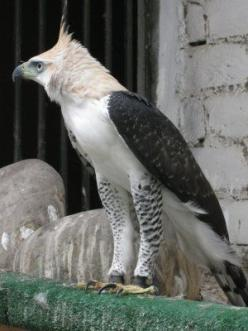 The Harpy Eagle is the largest and most powerful eagle in the world: 300 400, Birds Eagles, Eagles Hawks Owls, Pretty Birds, Beautiful Birds, Eagles Owls Hawks, Falcons Owls Eagles Hawks, Animal