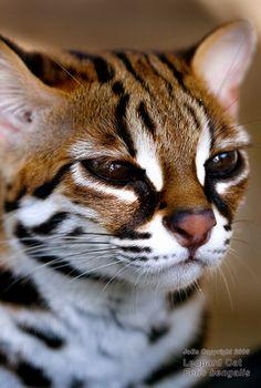 The leopard cat (Prionailurus bengalensis) is a small wild cat of South and East Asia. Since 2002 it has been listed as Least Concern by IUCN as it is widely distributed but threatened by habitat loss and hunting in parts of its range. There are twelve le