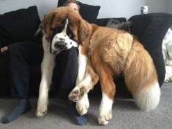The St. Bernard is gentle with children and known to be quite sensitive. Beethoven, anyone?: Huge Dogs, Animals, St Bernard, Pet, Lap Dogs, Saint Bernards, Big Dogs, Biggest Dog