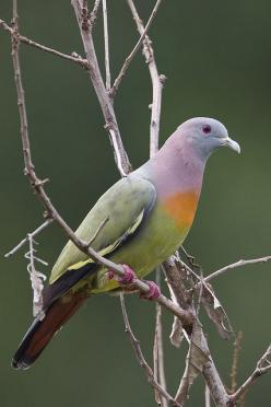 This is the rare pink-necked green pigeon (Treron vernans) and it's honestly not photoshopped. They're found in Cambodia, Indonesia, Malaysia, Myanmar, the Philippines, Singapore, Thailand, and Vietnam. Its natural habitats are subtropical or trop