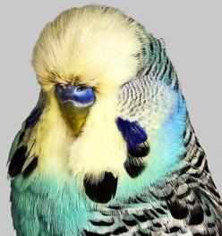 This makes me miss Eleanor. Oh how I wish he'd lived to old age and developed an especially fluffy forehead.: Colorful Birds, Budgie Color, Animals, Parakeets Budgies Parrots Etc, Budgerigar Birds, Birds Dragonflies More, Beautiful Birds