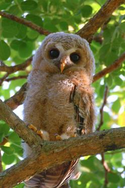 Too cute.... love owls: Baby Owls, Owl Photos, Cute Owl, Birds, Animal