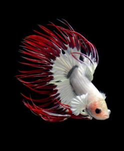 Tropical Fish Sonoma. If you are looking for aquariums or pond supplies, we can help you out! Give us a call 707-546-7456 today for more information.: Fish Sonoma, Pond Supplies, Aquarium, Tropical Fish, Beta Fish, Beautiful Betta, Animal, Betta Fish