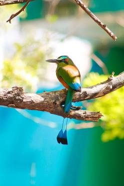 Turquoise browed motmot: Colorful Birds, Animals, Exotic Birds, Poultry, Lovely, Beautiful Birds, Nature S, Exoticbirds, Photo