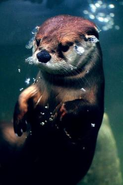 Underwater otter!   ...........click here to find out more     http://googydog.com: Animals, Creatures, Otter Pop, Things, Underwater Otter, Otterly Adorable