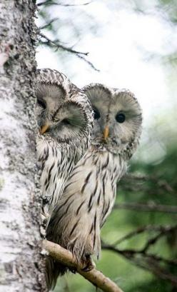 Ural owls/ thanks for posting this mom they are beautiful!!!! #owls #healthytreefrog #birdsofprey: Animals, Nature, Hoot Hoot, Birds, Peek A Boo, Beautiful Owls