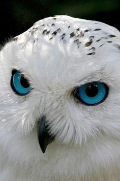 WHITE OWL ~ Cumbria, England - so many beautiful owls - I think they may need their own board.: Hoot Hoot, White Owls, Mark Heaps, Birds, Animal