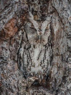Wow look at the owl :): Animals, Tree, Nature, Screech Owl, Camouflage Animal, Hoot Hoot, Birds, Photo, Owls