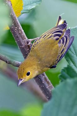 Yellow Warbler: Of Birds Birds, Yellow Warbler, Posts, Animals Birds, Baby