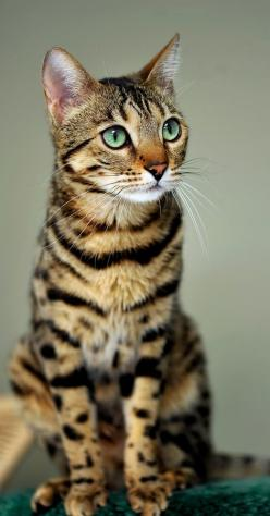"""""""God made the cat to give Man the pleasure of caressing the tiger."""" --Victor Hugo: Bengal Cats, Animals, Kitten, Beautiful Cats, Pet, Kitty Kitty, Bengalcat, Feline"""
