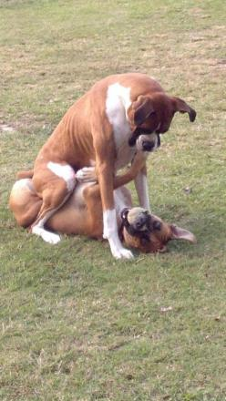 """I'll let you up AFTER you spit out the ball.""  (boxer): Boxers Best Dogs, Boxer Dogs, Animals, Ball, Boxers Rule, Adorable Boxers, Boxers Dogs, Dogs Puppies, Dogs Boxers"
