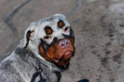 5 Dogs with absolutely amazing fur | The Pet's Planet: Rottweilers, Animals, Dogs, Color, Unique Coats, Pets, Funny, Puppy