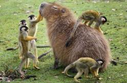 5 squirrel monkeys play with the capybara at a safari park in the Netherlands: Monkeys Grooming, Animals, Critter, Friends, Creatures, Capybara, Photo
