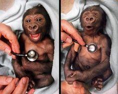 A baby gorilla experiencing the cold of a stethoscope. | 41 Pictures You Need To See Before The Universe Ends: Baby Monkey, Babies, Animals, Funny Picture, Funny Baby Face, Cold Stethoscope, Funny Monkey, Baby Gorilla