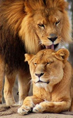 ~~A Lions Love by JP Diroll (Durall069)~~: Animals, Big Cats, Loving Lion, Bigcats, Lion Love, Wild Cats, Cats Big
