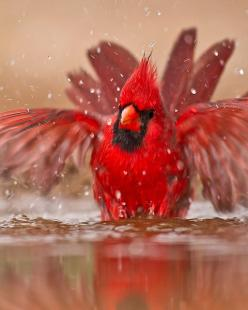 ♥: Animals, Beautiful Birds, Photo, Cardinals, Bath Time