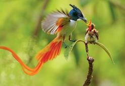 Asian Paradise Flycatcher: Animals, Nature, Bird Of Paradise, Beautiful Birds, Photo, Ave