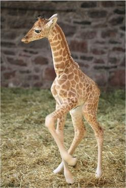 Baby giraffe trying out his legs!                                #lolanimals #cuteanimals #animals: Babies, Baby Giraffes, Pet, Things, Baby Animals, Cute Babies
