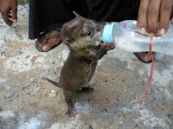 baby otter.. Oooh my simply precious! Can I have him!: Babies, Cuteness, Baby Otters, Adorable Animals, Creatures, Bottle Fed, Baby Animals