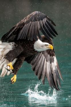 Bald Eagle -- An eagle's eye is almost as large as a human's, but its sharpness is at least four times that of a person with perfect vision.: Photos, Animals, Majestic, Wings, Beautiful Birds, Bald Eagles, Baldeagles