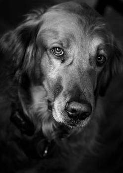 beautiful photo of Golden Retriever Dog Photography Puppy Hounds Chiens Puppies: Photos, Golden Retriever From, Beautiful Photo, Golden Retrievers, Cute Pets, Dog Photography, Golden Retriever Photography, Dogphotography Dogs, Friend